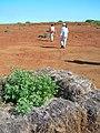 Starr-050525-1893-Chenopodium oahuense-bales-K1-Kahoolawe (24394365589).jpg