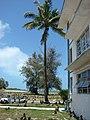 Starr-080531-4795-Cocos nucifera-habit-Charlie barracks Sand Island-Midway Atoll (24615277010).jpg
