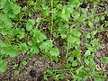 Starr-080608-7428-Coriandrum sativum-habit-Water plant Sand Island-Midway Atoll (24916198425).jpg
