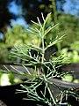 Starr-081031-0431-Anethum graveolens-leaves-Makawao-Maui (24631288220).jpg