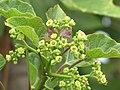 Starr-090713-2608-Jatropha curcas-flowers and leaves-Lahaina-Maui (24851422392).jpg