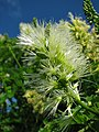 Starr-091104-0866-Pithecellobium alexandri-flowers-Kahanu Gardens NTBG Kaeleku Hana-Maui (24620115239).jpg