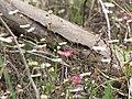 Starr-100401-4291-Erigeron karvinskianus-flowers-Polipoli-Maui (24396830024).jpg