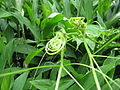 Starr-100621-7589-plant-Sechium edule-tendrils-Honokowai Ditch Trail.jpg