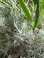 Starr-110307-2526-Lavandula sp-flowering habit-Kula Botanical Garden-Maui (24451376483).jpg