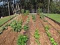 Starr-110411-4910-Phaseolus vulgaris-vegetable garden-Hawea Pl Olinda-Maui (24714782679).jpg