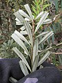 Starr-110609-6135-Banksia marginata-leaves silver undersides-Shibuya Farm Kula-Maui (25070469026).jpg