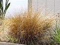 Starr-120403-4187-Carex buchananii-habit-Kula-Maui (25020328742).jpg