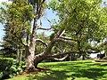 Starr-120510-5680-Cinnamomum camphora-habit in yard-Ka Hale Olinda-Maui (25024155392).jpg