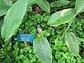 Starr-120716-8641-Curcuma elata-habit with sign-Hawaii Tropical Botanical Garden-Hawaii (24557275064).jpg