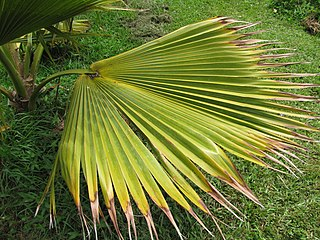 <i>Pritchardia mitiaroana</i> species of plant