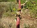 Starr-130617-4917-Amaranthus spinosus-flowers-Kealia Pond NWR-Maui (25185840256).jpg