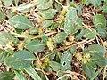 Starr-131218-2871-Alternanthera pungens-seeding habit-Honokanaia-Kahoolawe (24861030259).jpg