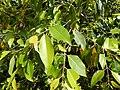 Starr-140909-1688-Syzygium cumini-leaves-Wailua-Maui (24618928323).jpg