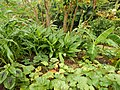 Starr-140925-1976-Curcuma longa-flowering habit-Pali o Waipio Huelo-Maui (25128292082).jpg