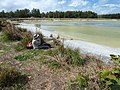 Starr-150401-0378-Paspalum urvillei-Kim looking at birds-Water Catchment Sand Island-Midway Atoll (25154517612).jpg
