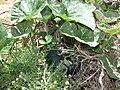 Starr-170614-0989-Cucurbita maxima-fruit leaves-Residences Sand Island-Midway Atoll (35547366953).jpg