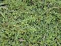 Starr 020803-0001 Hypericum mutilum.jpg