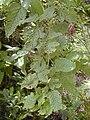 Starr 020808-0057 Rubus hawaiensis.jpg