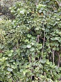 Starr 020813-0031 Polyscias scutellaria