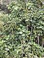 Starr 020813-0031 Polyscias scutellaria.jpg