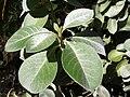 Starr 041229-2775 Achyranthes splendens var. splendens.jpg