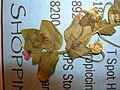 Starr 050427-0967 Anagallis arvensis.jpg