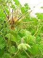 Starr 051122-5382 Pelargonium capitatum.jpg
