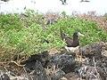 Starr 060228-8900 Chenopodium oahuense.jpg