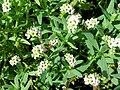 Starr 061108-9683 Heliotropium curassavicum.jpg