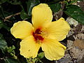 Starr 070302-5025 Hibiscus rosa-sinensis.jpg