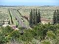 Starr 070403-6421 Araucaria columnaris.jpg