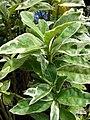 Starr 070906-8941 Graptophyllum pictum.jpg