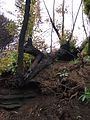 Starr 070908-9215 Eucalyptus robusta.jpg