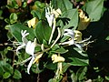 Starr 071024-0039 Lonicera japonica.jpg