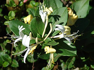 Floral scent - Flowers of Lonicera japonica emit a sweet, subtle fragrance mainly composed of linalool.