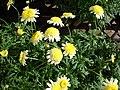 Starr 080117-1507 Argyranthemum frutescens.jpg