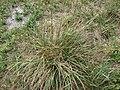 Starr 080601-5268 Eragrostis variabilis.jpg