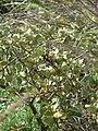 Starr 080605-6477 Solanum nelsonii.jpg