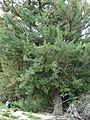 Starr 080610-8119 Juniperus bermudiana.jpg