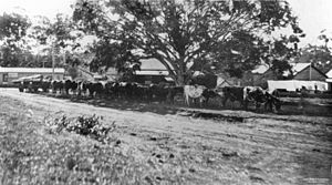 Buderim - Team of bullocks hauling a wagon of logs in Ballinger Crescent, 1927