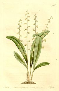 Typart S. ophioglossoides