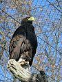 Steller's Sea Eagle in Berlin.JPG