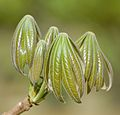 Sterculia murex, jong blare, Jan Celliers Park.jpg