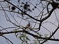 Streptopelia chinensis (4263239148).jpg