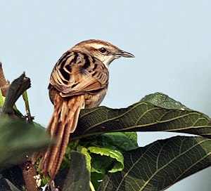Striated Grassbird (Megalurus palustris) at Kolkata I IMG 2707.jpg