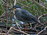 Striated heron in Israel.jpg