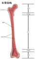 Structure of a Long Bone zh.png