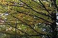 Sugar Maple (Acer saccharum) - Kitchener, Ontario 01.jpg