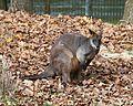 Sumpfwallaby Wallabia bicolor Tierpark Hellabrunn-5.jpg